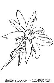 black and white line illustration of   Echinacea flower on a white background
