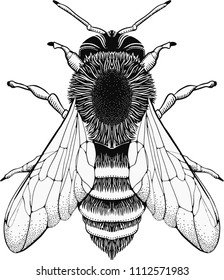 Black and white line illustration of a honey bee. Stylized insect drawing.