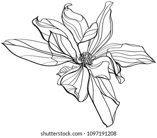 black and white line illustration of magnolia flower on a white background