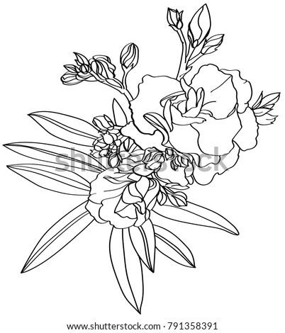 Black White Line Illustration Oleander Flowers Stock Vector Royalty