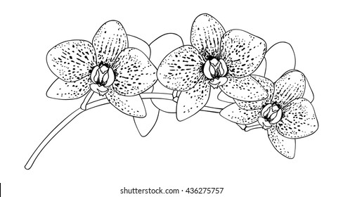 Black and white of orchid flowers. Vector illustration. Isolated