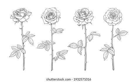 Black and white rose flower set in engraving style with leaves and stems. Hand drawn realistic open rosebuds.  Decorative vector elements for tattoo, greeting card, wedding invitation, flower shop.