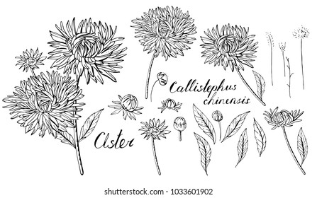 Black and white set with aster flowers. Objects isolated on white background