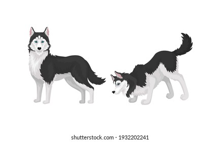 Black and White Siberian Husky as Medium-sized Working Dog Breed in Different Poses Vector Set