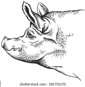 Black and white sketch of a pig's face. Vector portrait.