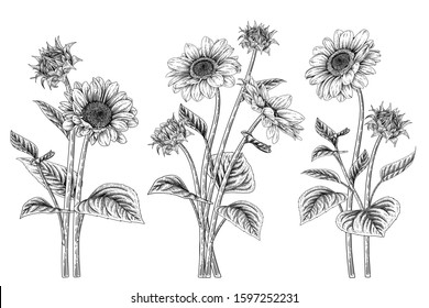 Black and white sunflower botanical illustration. Vintage floral clip art hand drawn group. Flowers drawing and sketch with line-art Isolated on white background.