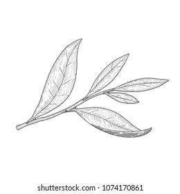Black and white tea tree leaf vector illustration.