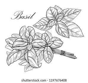 Black and white vector basil illustration without background