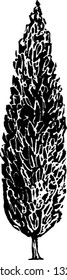 Black and white vector illustration of an Italian cypress tree
