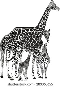 black and white vector illustration of three giraffes and zebra