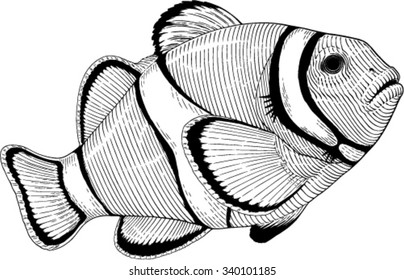 Black and white vector image of clown fish engraving style