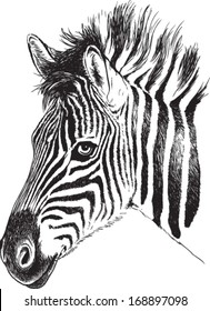 Black and white vector line drawing of a baby Zebra's face