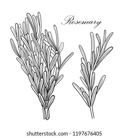 Black and white vector rosemary illustration without background