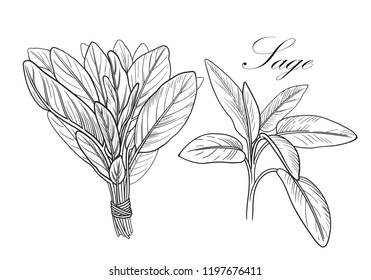 Black and white vector sage illustration without background