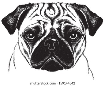 Black and white vector sketch of a fawn pug's face