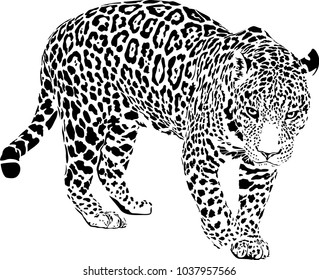 Black and white vector sketch of walk Jaguar