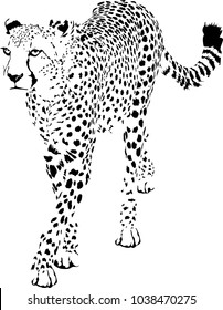 Black and white vector sketch of walks adult Cheetah (Acinonyx jubatus)