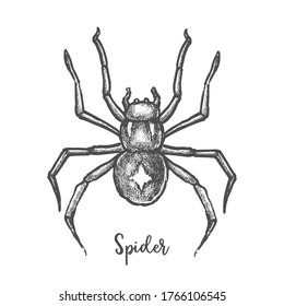 Black widow spider sketch. Hand drawn halloween bug. Horror or danger insect. Tarantula mascot or tattoo, Arachnid bug engraved. Web pest. Entomology or biology vector illustration or sign