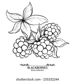 Blackberries. Vector illustration of ink hand drawn berry