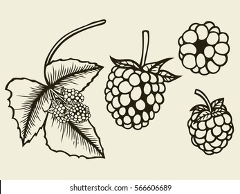 Blackberry hand drawn sketch. Vector illustration image
