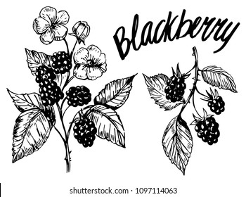 Blackberry sketch. Hand drawn illustration converted to vector