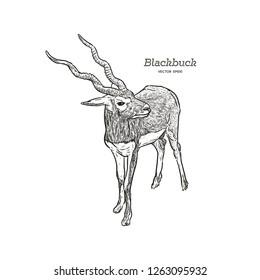 Blackbuck antelope Strepsiceros cervicapra, illustration vector.