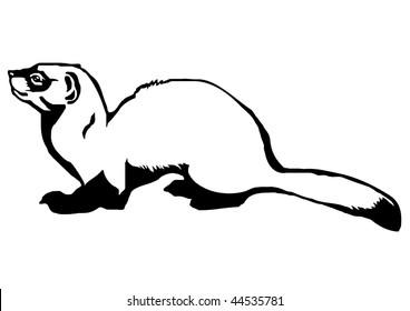 black-footed ferret (Mustela nigripes)