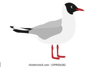 Black-headed gull (lat. larus ridibundus) isolated on white background. Lake or river gull, vector stock illustration.