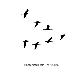 Black-tailed godwit (Limosa limosa) in flight. Vector silhouette a flock of birds