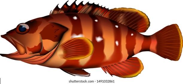 Blacktip grouper illustration. Vector EPS format.