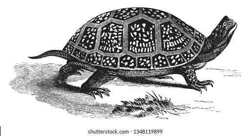 Blanding box tortoise is a semi aquatic turtle of the family Emydidae and measures seven to inches in length at the shell, vintage line drawing or engraving illustration.