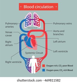 Blood circulation.