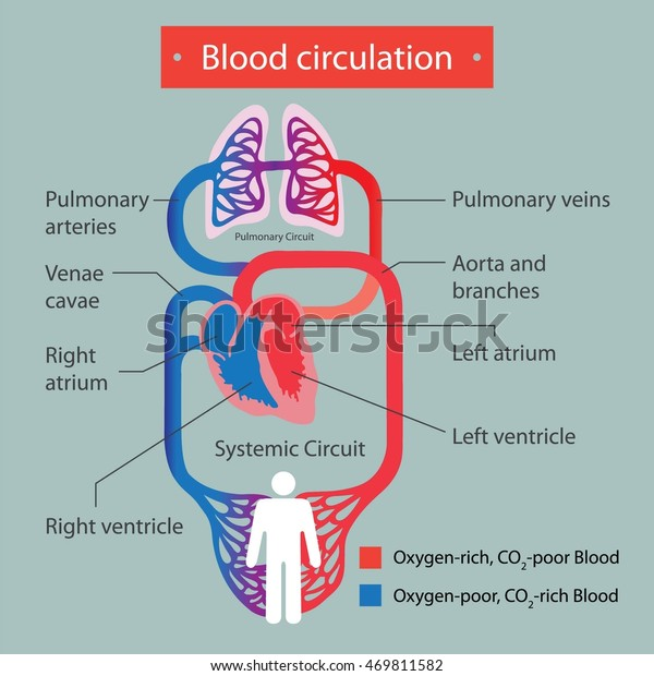 Blood circulation.
