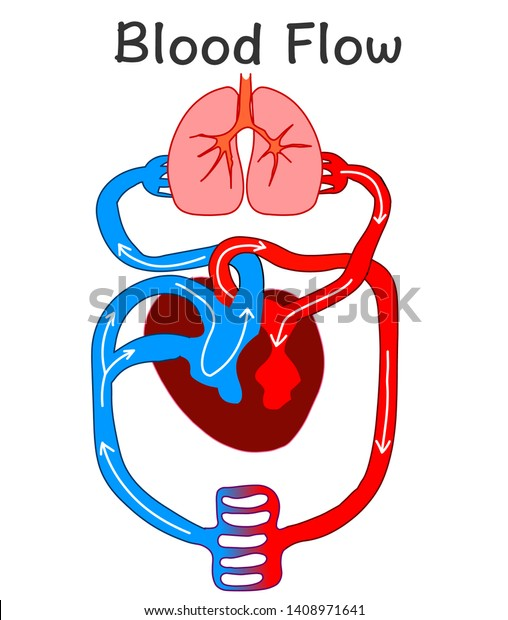 Blood Flow Heart Anatomy Formation Human Stock Vector ...