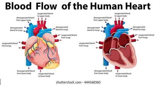 Human Heart Anatomy Images, Stock Photos & Vectors | Shutterstock