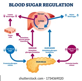 Blood sugar regulation vector illustration. Labeled process cycle scheme. Educational liver and pancreas diagram with glucose stimulation uptake and breakdown. Insulin release explanation infographic.
