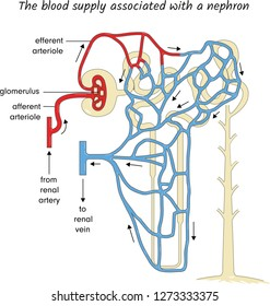 The blood supply assaciated with a nephron
