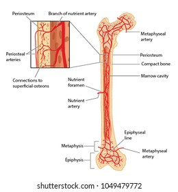 femur images, stock photos \u0026 vectors shutterstock Hip Diagram