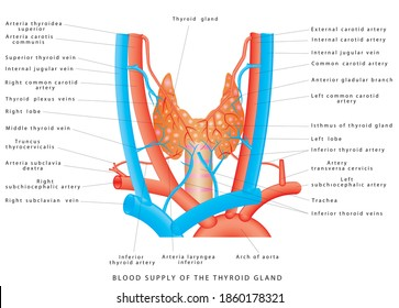 Blood supply of the thyroid gland. Arterial blood supply and venous outflow of the thyroid gland. Blood vessels of the thyroid gland. Location and anatomy of the thyroid gland on white background