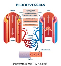 Blood vessels with artery and vein internal structure comparison vector illustration. Educational lumen direction description scheme. Labeled tunica intima, media and externa graphic for anatomy study