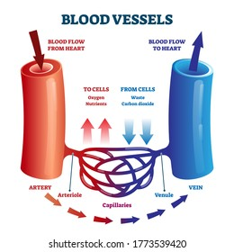 Blood vessels direction scheme with oxygen and nutrients flow from heart to cells vector illustration. Educational diagram with artery, arteriole, capillaries, venule and vein for anatomy study.