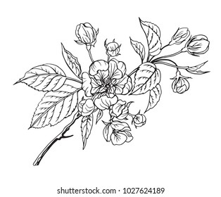 Blooming apple tree branch, black and white outline vector illustration.