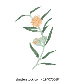 Blooming Australian eucalyptus flower with blossomed buds, burgeons and leaves. Colored botanical element in retro style. Hand-drawn vector illustration isolated on white background