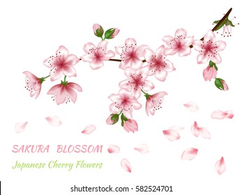 Blooming branch vector with pink spring blossom. Flowers, buds and falling petals illustration, isolated on white. Card with text place. Cherry flower blossom branch, peach bloom, sakura branch.