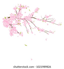 Blooming Cherry blossoms (pink sakura flowers) illustration in Japan.