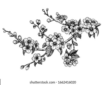 Blooming cherry branch, vector illustration. Sakura spring flowers, isolated hand drawn sketch on white background.