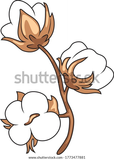 blooming-cotton-isolated-on-white-600w-1