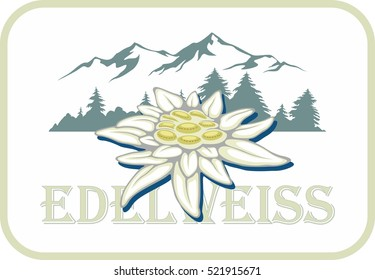 Blooming edelweiss flower. Symbol of Alp mountains. Beautiful postcard. Leontopodium alpinum.