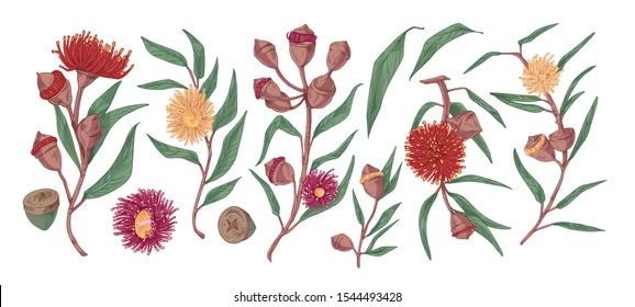 Blooming eucalyptus hand drawn vector illustration set. Gum-tree stems with leaves and flowers color realistic drawing. Exotic evergreen plant isolated on white background. Blossoming medicinal grass.