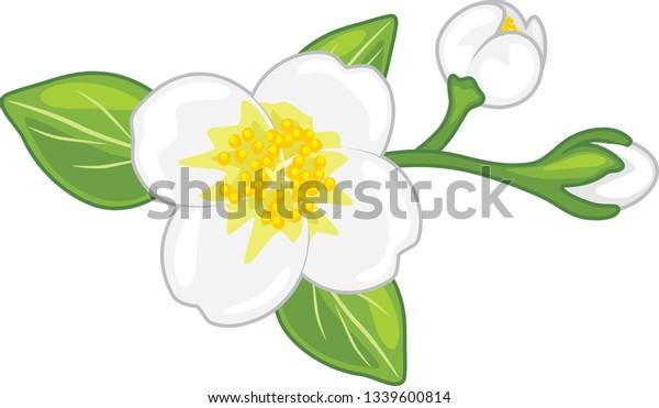 blooming-jasmine-vector-600w-1339600814.